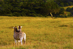 Pares da zebra Foto de Stock Royalty Free