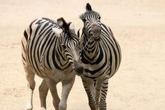 Pares da zebra Foto de Stock