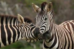 Pares da zebra Fotografia de Stock