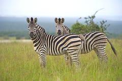 Pares da zebra Imagem de Stock Royalty Free
