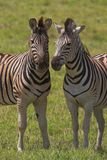 Pares da zebra Imagem de Stock