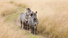 Pares da zebra no Masai Mara imagens de stock royalty free