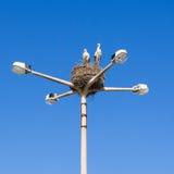 Pares das cegonhas brancas que aninham-se em uma lâmpada de rua, Faro, Portugal Fotografia de Stock