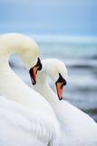 Pares das cisnes brancas Fotografia de Stock Royalty Free