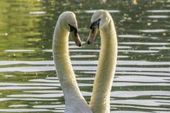 Pares das cisnes brancas antes de acoplar Fotografia de Stock