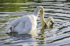 Pares das cisnes brancas durante o acoplamento Imagens de Stock