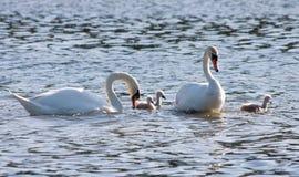 Pares das cisnes brancas e de cygnets novos fotografia de stock