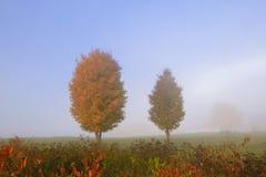 Pares de árvores de bordo na névoa do outono. Fotos de Stock