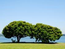 Pares de árvores verdes Fotografia de Stock
