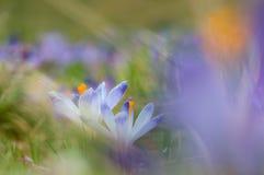 Pares de açafrões azuis que florescem no prado da mola Foto de Stock