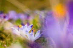 Pares de açafrões roxos que florescem no prado da mola Fotografia de Stock