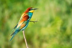 Pares de abeja-comedores tropicales coloridos exóticos de los pájaros Fotografía de archivo