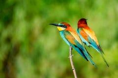 Pares de abeja-comedores tropicales coloridos exóticos de los pájaros Foto de archivo