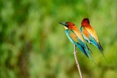 Pares de abeja-comedores tropicales coloridos exóticos de los pájaros Imagenes de archivo