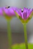 Pares de abejas en naturaleza entre los lirios Fotografía de archivo