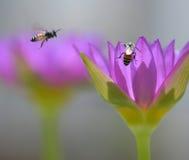 Pares de abejas en naturaleza entre los lirios Fotos de archivo