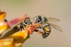 Pares de abejas que compiten para el polen Fotografía de archivo libre de regalías