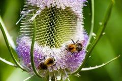 Pares de abejas que recolectan el polen en la flor Imagen de archivo