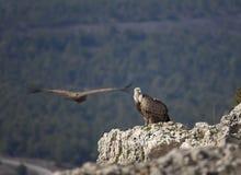 Pares de abutres Fotografia de Stock Royalty Free