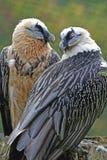 Pares de abutres farpados Fotos de Stock