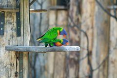 Pares de acoplamento dos lorikeets do arco-íris, Foto de Stock