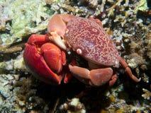 Pares de acoplamiento de cangrejos convexos imagen de archivo libre de regalías