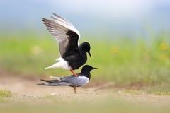 Pares de acoplar pájaros negros Blanco-cons alas de la golondrina de mar en humedales herbosos en estación de primavera Fotos de archivo libres de regalías