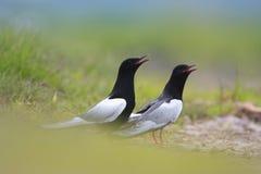 Pares de acoplar pájaros negros Blanco-cons alas de la golondrina de mar en humedales herbosos en estación de primavera Imagen de archivo libre de regalías
