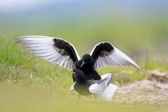 Pares de acoplar pássaros pretos Branco-voados da andorinha-do-mar em pantanais gramíneos na estação de mola Fotos de Stock Royalty Free
