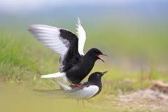Pares de acoplar pássaros pretos Branco-voados da andorinha-do-mar sobre na estação de mola Foto de Stock Royalty Free