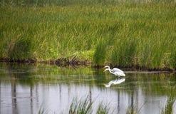 Pares de alimento de desengaço do grande Egret branco fotografia de stock