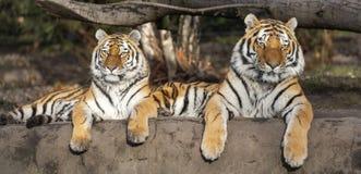 Pares de altaica del Tigris del Panthera del tigre siberiano fotos de archivo libres de regalías