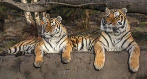 Pares de altaica del Tigris del Panthera del tigre siberiano imagenes de archivo