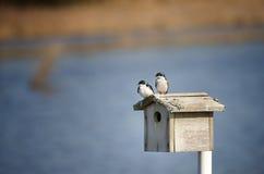 Pares de andorinhas de árvore no telhado da caixa de pássaro fotografia de stock