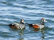 Pares de arlequín que emigran a Marine Ducks en la bahía de Barneget Foto de archivo libre de regalías