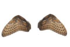 Pares de asas da coruja Imagem de Stock Royalty Free