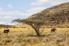 Pares de avestruces Fotografía de archivo