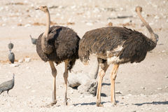 Pares de avestruzes Fotografia de Stock Royalty Free