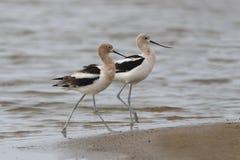 Pares de Avocets americanos en una playa Fotos de archivo libres de regalías