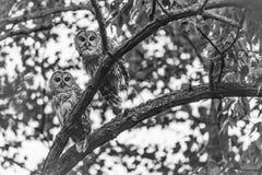 Pares de búhos barrados Imagen de archivo libre de regalías