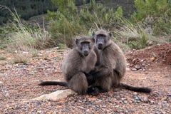 Pares de babuinos Imagen de archivo libre de regalías