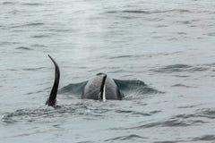 Pares de baleias de assassino no Oceano Pacífico Área da água perto da península de Kamchatka Fotografia de Stock