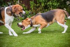 pares de beagles Foto de archivo libre de regalías