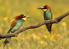 Pares de bee-eaters Imágenes de archivo libres de regalías