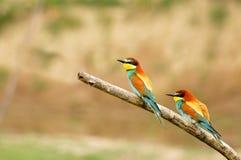 Pares de Bee-eaters europeus (apiaster do Merops) Foto de Stock Royalty Free