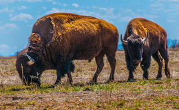 Pares de bisonte Imagen de archivo libre de regalías