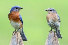 Pares de Bluebird del este fotos de archivo