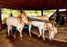 Pares de bois de trabalho na Índia Imagem de Stock Royalty Free