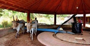 Pares de bois de trabalho na Índia Fotografia de Stock Royalty Free