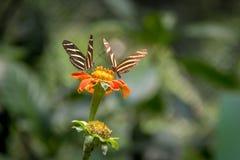 Pares de borboletas dos longwings da zebra em uma flor alaranjada Fotografia de Stock Royalty Free